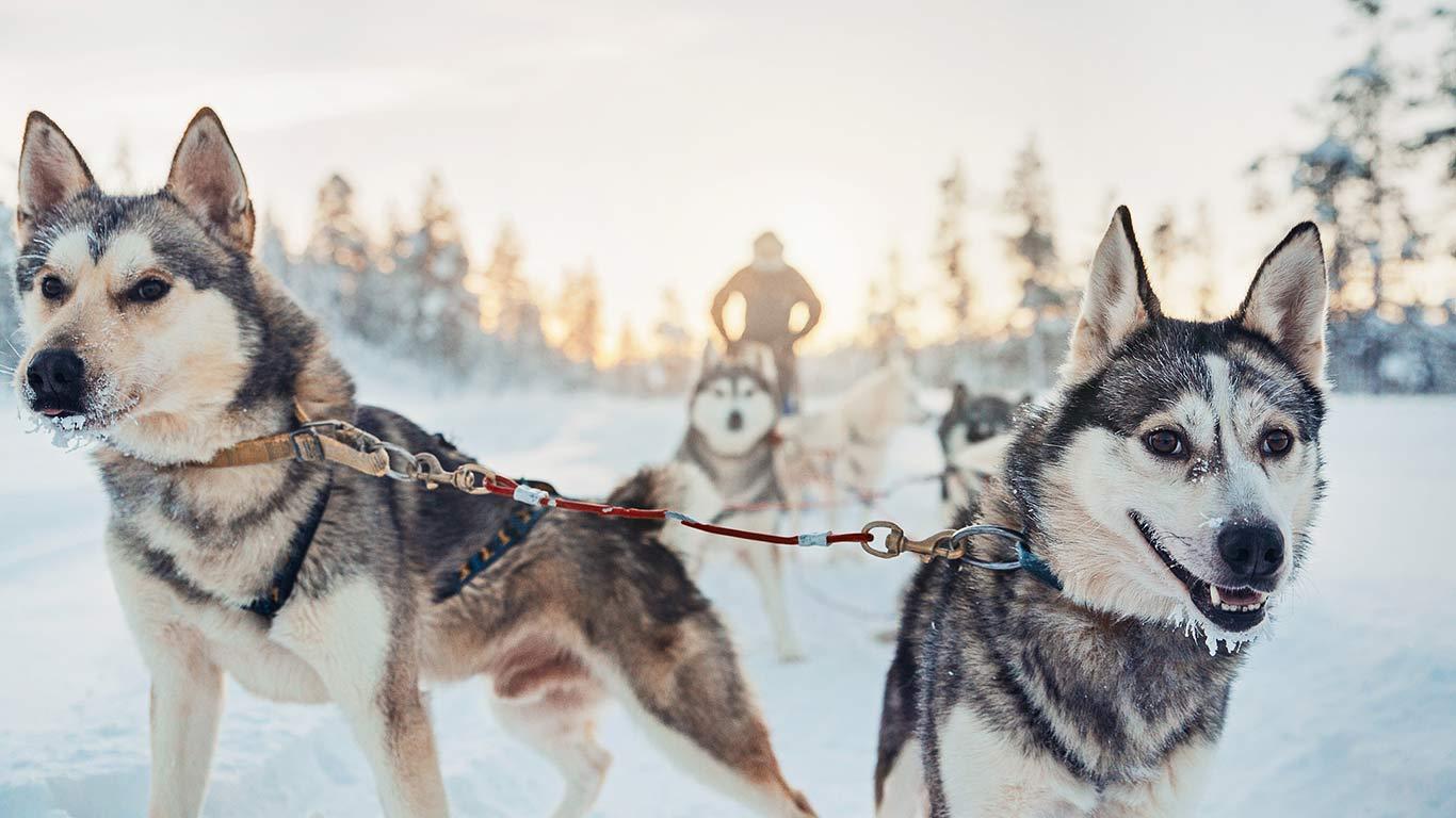Passeio com cães Husky